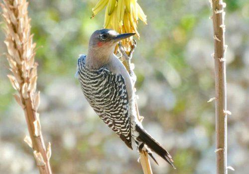 Gray-breasted woodpecker at Rancho Pitaya