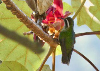 Hummer gulping nectar in Manita tree