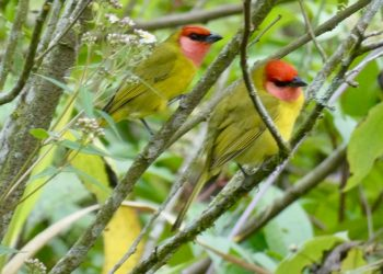 Elusive Red-headed Tanagers